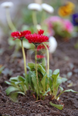 Red spring flowers stock photo, Red spring flowers with green leaves natural background by Julija Sapic