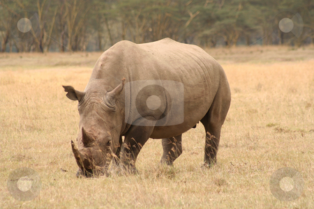 White Rhino three quarter view stock photo, White rhinos are grazers and less grumpy than their cousins but still dangerous by Helen Shorey