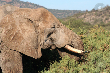 Old Bull Elephant Head Shot stock photo, Close up of an old bull elephant, taken in Samburu, Kenya by Helen Shorey