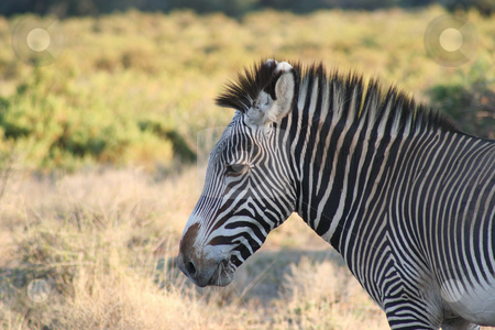 Common Zebra profile view stock photo, Did you know there are at least 2 types of zebra? Wide stripes and narrow stripes!! Common has the narrow stripes and Grevys have the broad stripes. by Helen Shorey