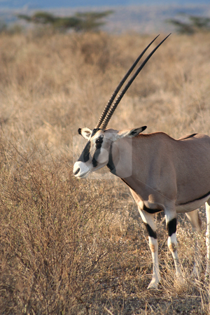 Large Male Oryx stock photo, One of the larger antelopes, often called the swordsman of the Plains due to it's horns. by Helen Shorey