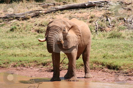 Old Bull Elephant Drinking stock photo, Old bull elephant with broken tusk, drinking at the rivers edge. by Helen Shorey
