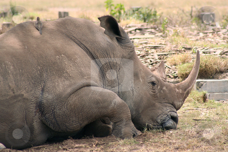 Rhino Sleeping stock photo, Rhino resting in the heat of the afternoon, small oxpecker bird nestled on its back. The concrete is the remains of a building before the park was created. by Helen Shorey