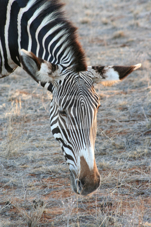 Common Zebra Head shot stock photo, Common zebra grazing at dusk, shows the beautiful markings on their faces. by Helen Shorey