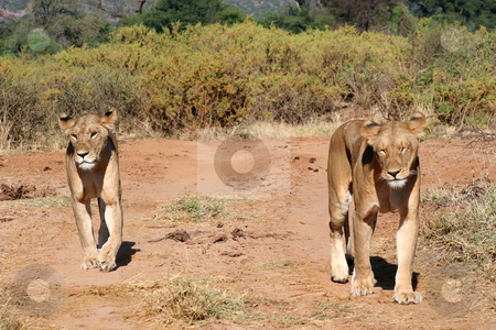 Two lions in the road stock photo, Two lions walking/prowling along the roadway inside Samburu national park/reserve, Kenya by Helen Shorey