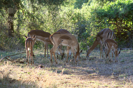 Grazing at dawn stock photo, Herd of Impala gazing in Samburu Reserve, Kenya. Early dawn light. by Helen Shorey