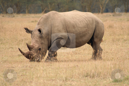 White Rhino side view stock photo, White Rhinos are grazing animals and are less aggressive than their cousins. They are still dangerous though. by Helen Shorey