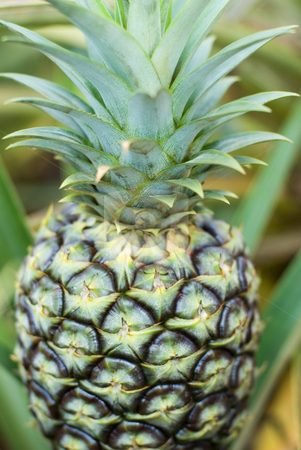 Pineapple plantation stock photo, Pineapples growing on a fruit plantation in Hawaii by Stephen Gibson