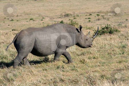 Black Rhino Passing By stock photo, Black rhino passing by our vehicle by Helen Shorey
