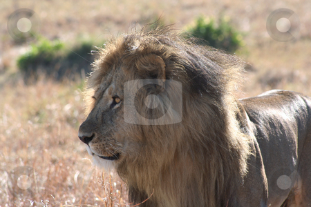 Male Lion Watching 2 stock photo, Slightly closer in view of the male lion watching others nearby by Helen Shorey