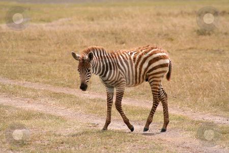Baby Zebra Crossing stock photo, Very shaggy brown coated baby zebra crossing a dirt track in the Masai Mara grasslands by Helen Shorey