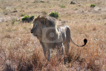 Male Lion Watching stock photo, Watching some other lions intently by Helen Shorey