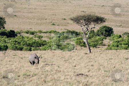 Black Rhino  stock photo, Black rhino on the move after spotting us by Helen Shorey