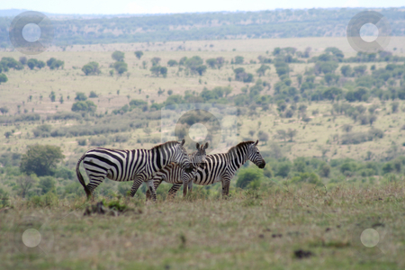 Zebras on the border stock photo, Taken from the high plateau of the Masai Mara in Kenya looking out over the plains of the Serengeti in Tanzania. by Helen Shorey