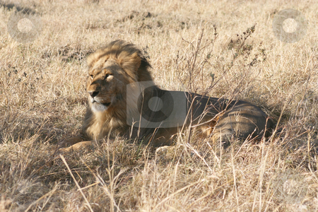 Male Lion Lying Down stock photo, One of several male lions in the area, just spotted a kill by a pride across the valley by Helen Shorey