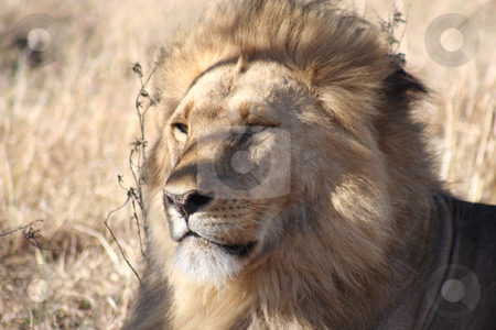 Male Lion in the shade of a bush stock photo, Male lion sitting alertly, watching other lions in the vicinity but seemingly oblivious to our vehicle by Helen Shorey