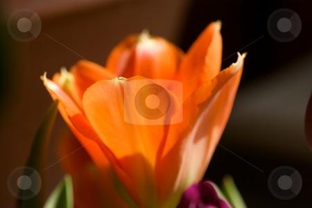 Glowing Orange Tulip  stock photo, Closeup of an orange tulip soaking up the sun. by Charles Jetzer