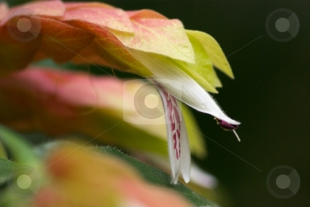 The Dragon's Mouth stock photo, Closeup of a Shrimp flower bloom open by Charles Jetzer
