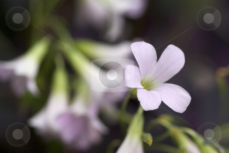 Oxallis Bloom stock photo, Closeup of an Oxallis in Bloom. by Charles Jetzer