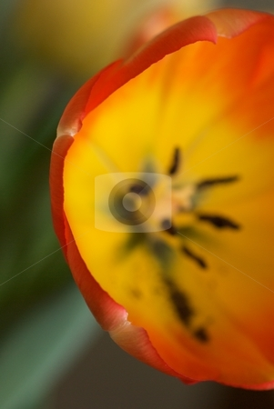 C Red Yellow Tulip stock photo, Closeup of the C shaped arc of red yellow tulip petals. by Charles Jetzer