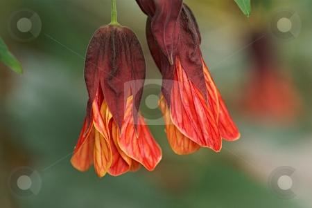 Velvet Fringes stock photo, Flowering Maple by Charles Jetzer