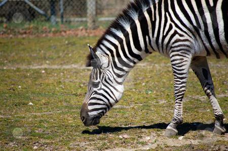 Zebra Grazing on Green Grass stock photo,  by Heather Shelley
