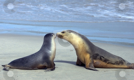 A Mothers Love stock photo, An image that makes a great Mother's Day Gift. A young Australian Sea Lion Emerges from the sea to be greeted by his mother on the beach. by Mike Dawson