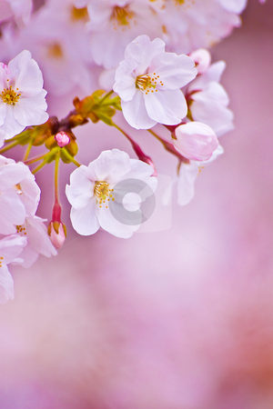 Serenity - Sakura- stock photo,  by Tomo Photography