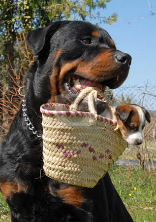 Rottweiler and puppy stock photo, A rottweiler carrying a very young puppy jack russel terrier in a basket by Bonzami Emmanuelle
