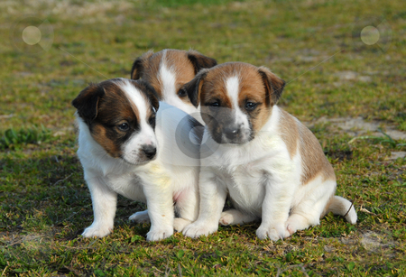 Three puppies jack russel terrier stock photo, Three puppies purebred jack russel terrier in a garden by Bonzami Emmanuelle