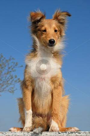 Puppy shetland sheepdog stock photo, Portrait of a purebred shetland sheepdog on a blue sky by Bonzami Emmanuelle