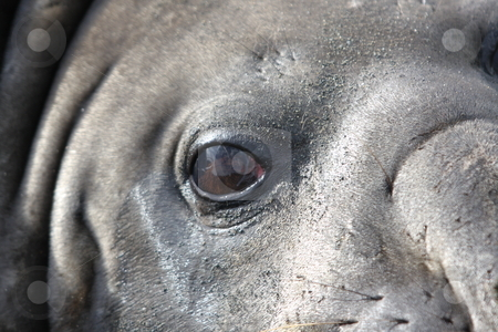 Close up of Elephant Seal, (Mirounga loenina) stock photo, Close up of head of Elephant Seal at South Georgia Island, Antarctica by Chris Budd