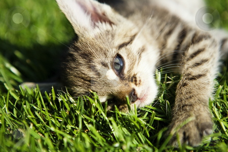 Small kitten stock photo, Kitten on beautiful green grass taken by macro by Tom P.