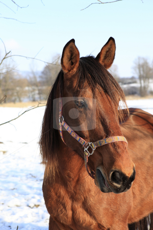 Curiousity stock photo, Brown horse in January portrait by Tom P.