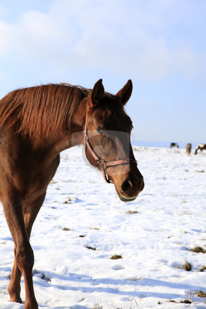 Horse in scene stock photo, Lovely brown horse looks directly to the camera by Tom P.