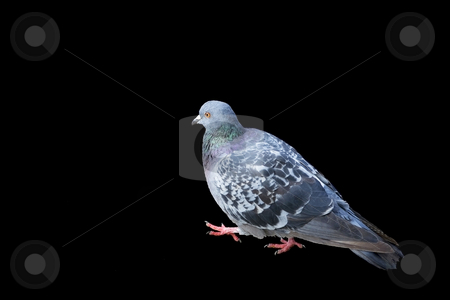 Pigeon stock photo, Classical grey pigeon is doing a step by Tom P.
