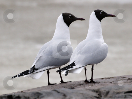 Black-headed Gulls stock photo, Two seagulls on a cliff by Lars Kastilan