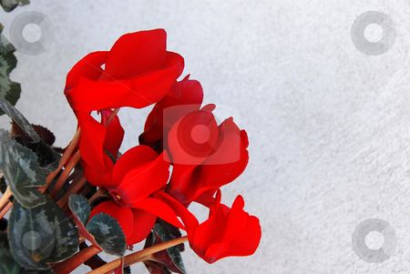 Cyclamen background stock photo, Red cyclamen flowers natural background over gray by Julija Sapic