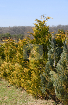Thuja row stock photo, Natural green golden thuja fence outdoor by Julija Sapic