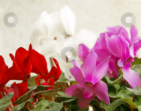 Cyclamen background stock photo, Red, pink, white cyclamen flowers natural background by Julija Sapic