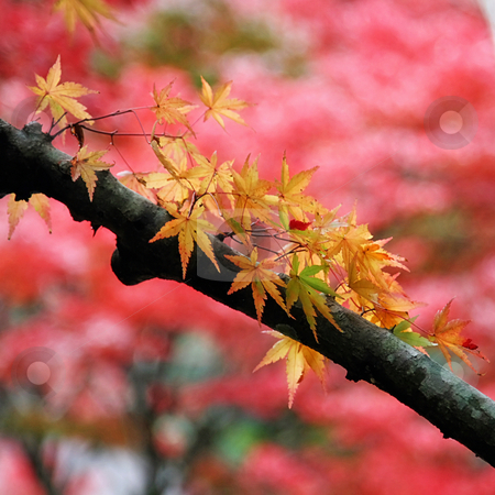 Japanese Maple stock photo,  by Tomo Photography