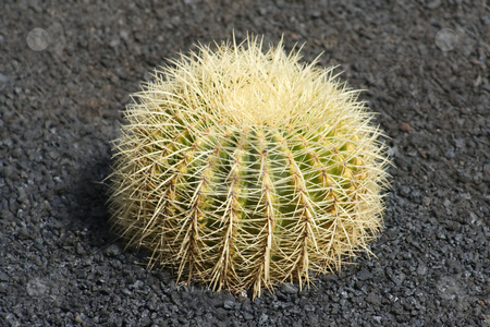 Very Prickly Cactus stock photo, Beautifully spikey barrel cactus in Lanzarote. Mulched with volcanic ash or pumice chippings by Helen Shorey