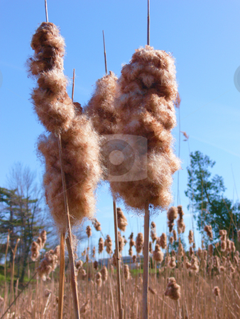 Old reed   stock photo, Old reed from last year, open, so the seed can fly away on blue background. by Horst Petzold