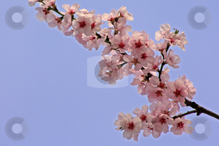 Cherry blossom stock photo, Cherry blossom in april, photographed in Frankfurt Main, Germany by Manuela Schueler