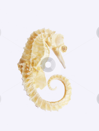 Sea-horse    stock photo, An dried sea-horse on white background witch is used in a herbal remedy in the Chinese culture. by Horst Petzold