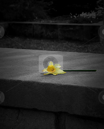 Daffodil  stock photo, Daffodil (in color) Setting upon a concrete ledge. Rest of image is in greyscale. by Dazz Lee Photography