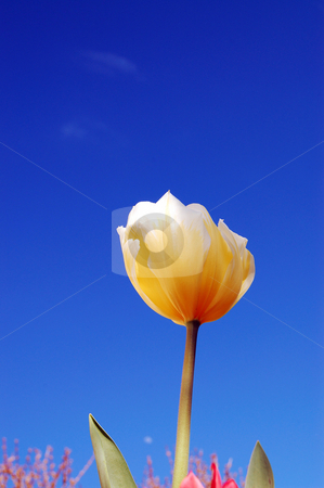 Yellow tulip with red in background stock photo,  by Heather Shelley