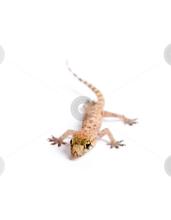Funky Gecko stock photo, Studio shot of gecko over white background, with reflection on bottom by iodrakon