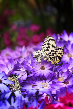 Paradise of butterfly II stock photo,  by Tomo Photography