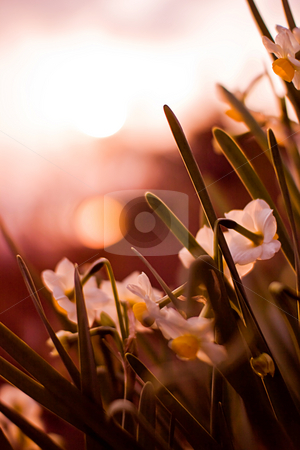 Sunset with Narcisus stock photo,  by Tomo Photography